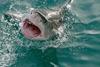 Shark bernard dupont cc by sa 2.0